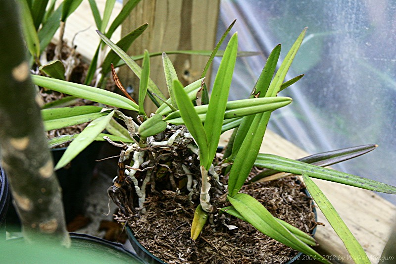 Anegada orchid, in orchid bark with sphagnum peat moss.