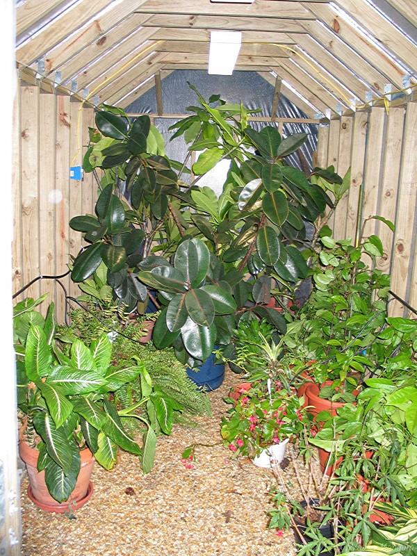 Rubber tree and more now inside.