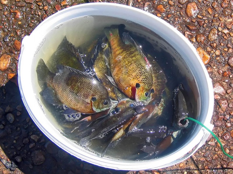 Walker's catch - 27 bluegills